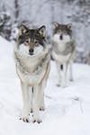 KA_171230_18 / Canis lupus / Ulv