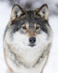 KA_171230_23 / Canis lupus / Ulv