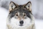 KA_171230_26 / Canis lupus / Ulv