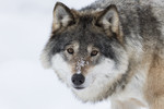 KA_171230_35 / Canis lupus / Ulv