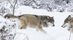 KA_171230_55 / Canis lupus / Ulv