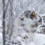 KA_171230_6 / Canis lupus / Ulv