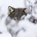 KA_171230_71 / Canis lupus / Ulv