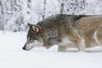 KA_171230_72 / Canis lupus / Ulv
