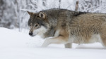 KA_171230_73 / Canis lupus / Ulv