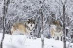KA_171230_94 / Canis lupus / Ulv