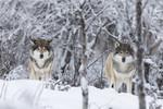 KA_171230_95 / Canis lupus / Ulv