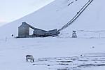KA_180302_117 / Rangifer tarandus platyrhynchus / Svalbardrein