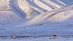 KA_180302_90 / Rangifer tarandus platyrhynchus / Svalbardrein