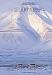 KA_180302_95 / Rangifer tarandus platyrhynchus / Svalbardrein