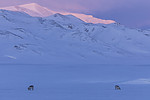 KA_180304_233 / Rangifer tarandus platyrhynchus / Svalbardrein