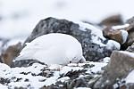 KA_180305_101 / Lagopus muta hyperborea / Svalbardrype