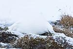 KA_180305_105 / Lagopus muta hyperborea / Svalbardrype