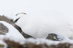 KA_180305_112 / Lagopus muta hyperborea / Svalbardrype