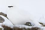 KA_180305_116 / Lagopus muta hyperborea / Svalbardrype