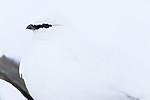 KA_180305_128 / Lagopus muta hyperborea / Svalbardrype