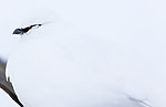 KA_180305_130 / Lagopus muta hyperborea / Svalbardrype