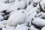 KA_180305_147 / Lagopus muta hyperborea / Svalbardrype