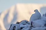 KA_180305_184 / Lagopus muta hyperborea / Svalbardrype