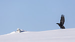 KA_180412_439 / Corvus corax / Ravn <br /> Vulpes lagopus / Fjellrev
