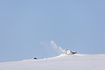 KA_180412_479 / Vulpes lagopus / Fjellrev
