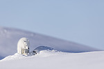 KA_180412_521 / Vulpes lagopus / Fjellrev