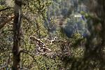 KA_180608_22 / Haliaeetus albicilla / Havørn