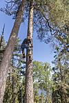 KA_180608_32 / Haliaeetus albicilla / Havørn