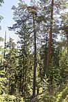 KA_180608_52 / Haliaeetus albicilla / Havørn