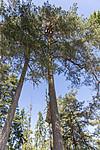 KA_180608_99 / Haliaeetus albicilla / Havørn