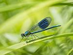KA_180616_106 / Calopteryx splendens / Blåbånd-vannymfe