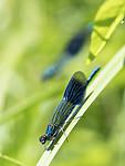 KA_180616_97 / Calopteryx splendens / Blåbånd-vannymfe