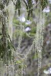 KA_190923_168 / Usnea longissima / Huldrestry