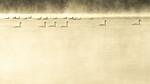 KA_191129_4 / Cygnus cygnus / Sangsvane