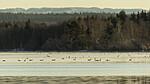 KA_191129_43 / Branta canadensis / Kanadagås <br /> Cygnus cygnus / Sangsvane