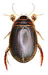 KA_canaliculatus / Acilius canaliculatus