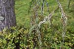 SIG_0136 / Evernia divaricata / Mjuktjafs