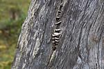 SIG_0379 / Trichaptum laricinum / Lamellfiolkjuke
