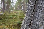 SIG_0383 / Trichaptum laricinum / Lamellfiolkjuke