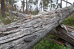 SIG_0408 / Gloeophyllum protractum / Langkjuke