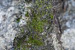 SIG_0568 / Fissidens gracilifolius / Pyslommemose