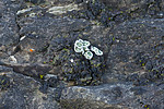 SIG_0575 / Squamarina gypsacea