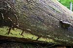 SIG_0769 / Amylocorticium subincarnatum / Rosenjodskinn