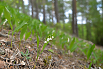 SIG_1192 / Convallaria majalis / Liljekonvall