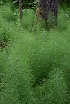 SIG_1261 / Equisetum sylvaticum / Skogsnelle