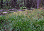 SIG_1271 / Carex elongata / Langstarr