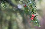 SIG_1994 / Taxus baccata / Barlind