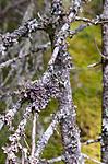 SIG_2141 / Erioderma pedicellatum / Trønderlav