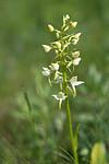 SIG_2521 / Platanthera montana / Grov nattfiol
