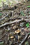 SIG_2578 / Cortinarius caesiocortinatus / Rasmarkslørsopp